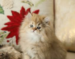 persian kittens for sale himalayan kittens for sale teacup