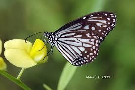 my butterfly garden glassy tiger