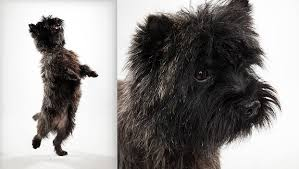 affenpinscher terrier mix cairn terrier dog breed selector animal planet