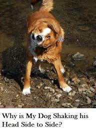 boxer dog uncontrollable head shaking why is my dog shaking his head side to side dogs health problems