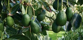 Best Fruit Tree For Backyard The Best Backyard Variety And The Standard By Which Other Avocados