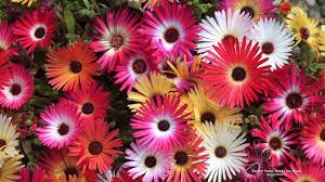 Flower Gardens Wallpapers - free flowers u0026 gardens wallpaper desert rose hardy ice plant