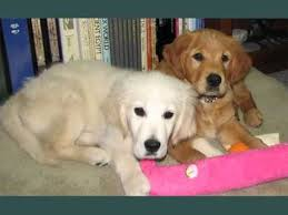 Comfort Golden Comfort Retriever Set Of Dogs U0026 Dog Breed Picture Ideas Youtube