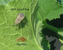 Squash Plant Diseases Pictures - squash bugs how to identify and control squash bugs the old