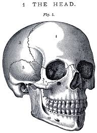 vintage anatomy skull image the graphics