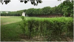 backyards bright bamboo trees vs ficus tree or backyard boundary