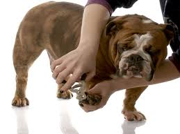 why trimming a bully nails is really important u2022 american bully