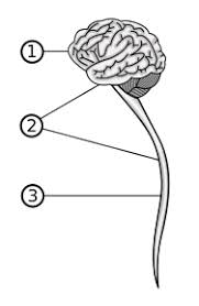 Role Of Brain Stem Structure And Function Of The Brain Boundless Psychology
