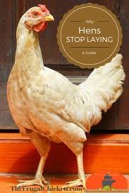Backyard Chickens Breeds by 74 Best White Egg Laying Chicken Breeds Images On Pinterest