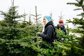 scotch pine christmas tree the most popular types of christmas trees