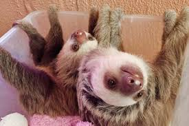 costa sloth sanctuary is home for 150 sloths