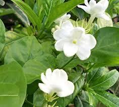 Fragrant Jasmine Plant - buy emeralds tm sambac fragrant jasmine plant maid of orleans 4
