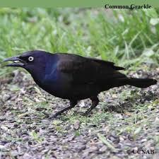 Iowa birds images 120 best birds in iowa images iowa birds and jpg