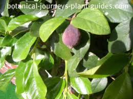 ficus pumila facts where and how to grow the creeping fig vine