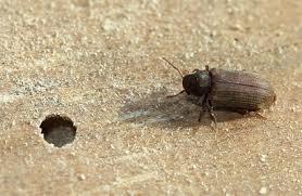Powder Post Beetles In Hardwood Floors - home dzine home diy timber and wood full of holes