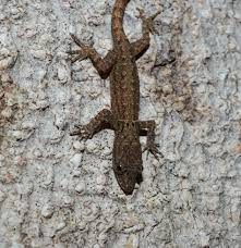 anole annals your source for the latest on anolis lizards page 11