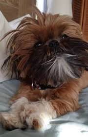 shih tzu with curly hair shih tzu shedding coat renewal for puppy and adult dogs