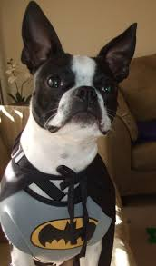 halloween dog mask 275 best bt in costumes images on pinterest boston terriers