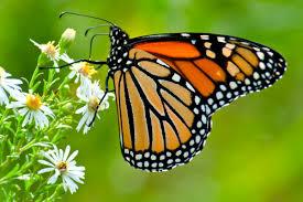 gmo linked herbicide may doom monarch butterflies ewg