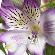 alstroemeria flower on sale purple alstroemeria seeds mix peruvian flower