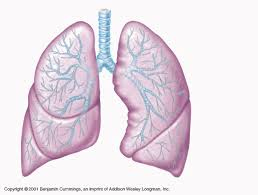 Human Anatomy Respiratory System Apii Study Guides