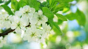 hd images of flowers pear tree flowers wallpaper allwallpaper in 6474 pc en