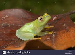 dwarf reed frogs water lily reed frog transparent reed frog