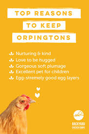 best 25 buff orpington ideas on pinterest chicken breeds hens