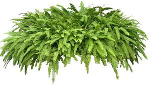 tropical plant pictures nephrolepis sp sword fern
