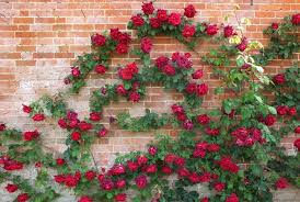 Fragrant Climbing Plants - rose u0027crimson glory u0027