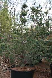 pine japanese white creekside tree nursery