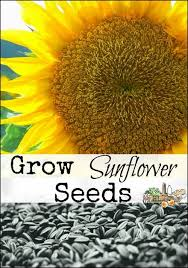 best 25 sunflower seeds for birds ideas on pinterest sunflower