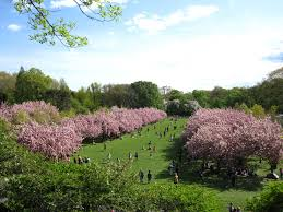everything you need to know about the cherry blossom festival this