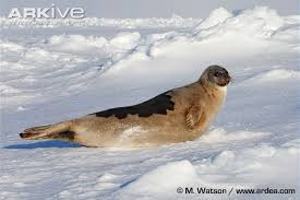 what size l harp do i need harp seal videos photos and facts pagophilus groenlandicus arkive