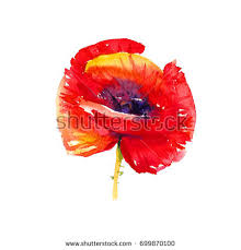 purple poppy stock images royalty free images u0026 vectors
