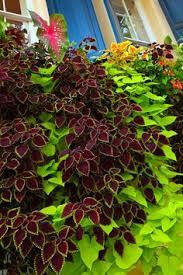coleus and sweet potato vine striking combo lawn n garden