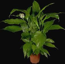 Combattere l'inquinamento domestico con le piante Images?q=tbn:ANd9GcRYxVA4_aoUaFkdxV5lfRr8jjeJfCaCBvDLfVCzn03_iSrm1jSxgw