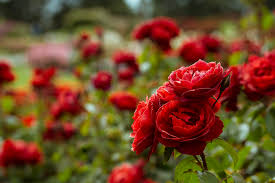 rosy outlook for the victorian state rose garden show u2039 onya magazine