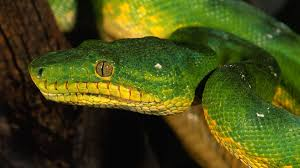 a green snake wallpapers images of yellow snake wallpaper hd sc