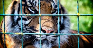 the u s has more tigers in captivity than there are in the wild