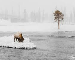 bison in snow etsy