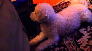 bichon frise funny barking bichon frise funny youtube
