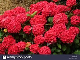 Hydrangea Flowers Hydrangea Macrophylla U0027eldorado U0027 Red Hydrangeas Plant Plants