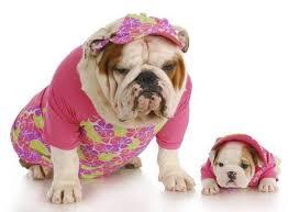 English Bulldog Halloween Costumes 90 Bulldog Love Images English Bulldogs