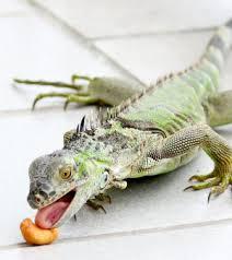 imágenes de iguanas verdes un menú para la iguana infoexóticos