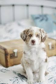australian shepherd p puppy eyes australian shepherd puppies shepherd puppies and
