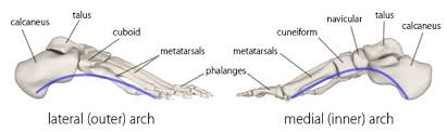 Anatomy Of The Calcaneus Foot And Ankle Structure And Function Physiopedia