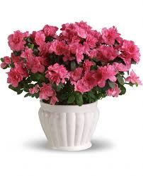 Indoor Flowering Plants by Indoor Azalea Care Tips Planting Growing Pruning Azaleas