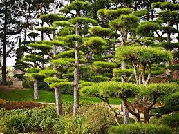 trees japanese yew free photo on pixabay