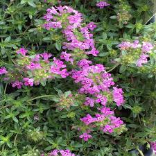 onlineplantcenter 3 in coccineus creeping red thyme plant t1321cl